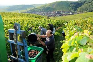 vert-de-vin-vendanges-millesime-2013-vignoble-alsace-1