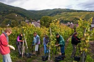 vert-de-vin-vendanges-millesime-2013-vignoble-alsace
