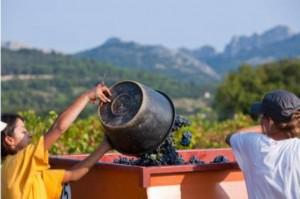 Vendanges 2015 : Récolte d'exception en Vallée du Rhône